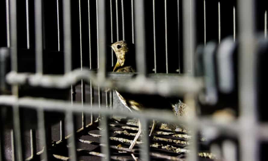 Певчий дрозд, пойманный браконьерами в Брешии и использованный для приманки других птиц