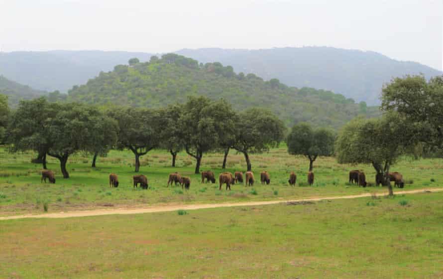 Стадо европейских зубров в Испании, где сейчас существует 35 центров по разведению животных.