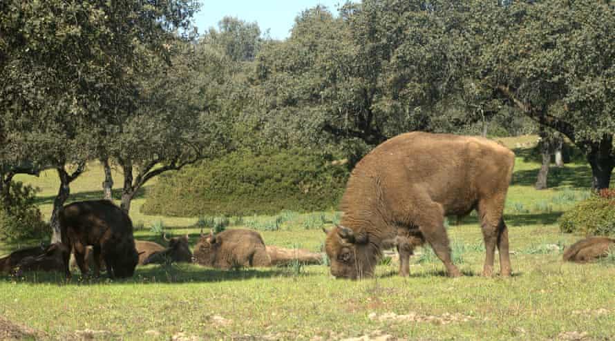 Самец зубра в Испании, где животные не признаны исчезающим видом.