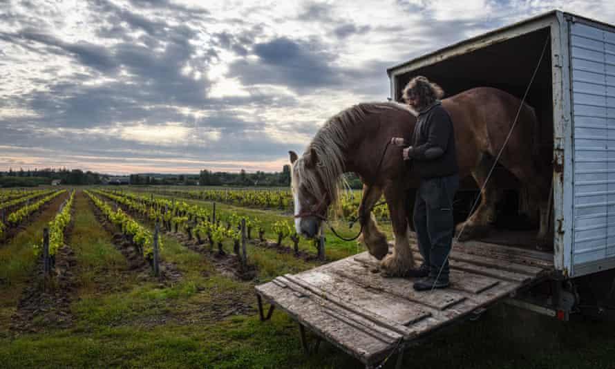 Лошадь выходит из конюшни в виноградник