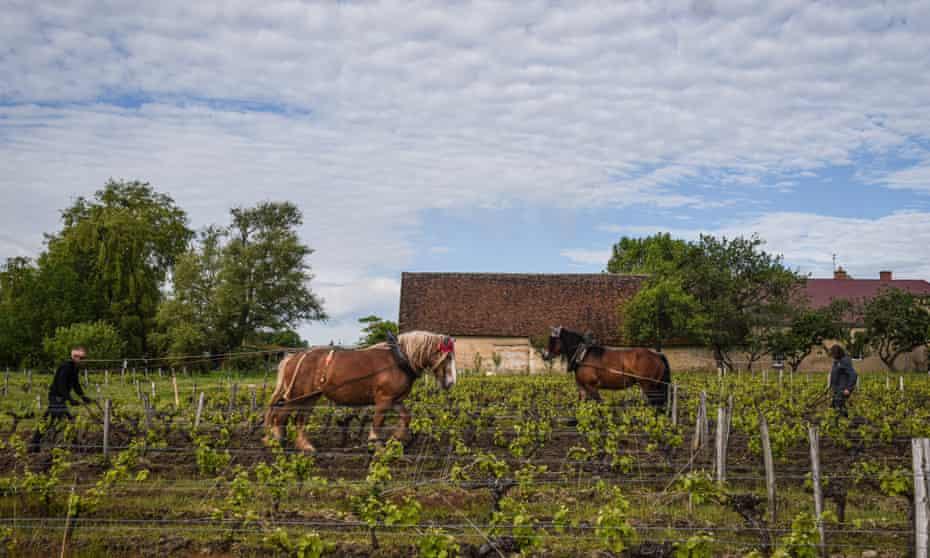 Лошадь прополывает виноградные лозы на винограднике в Туре, Франция.