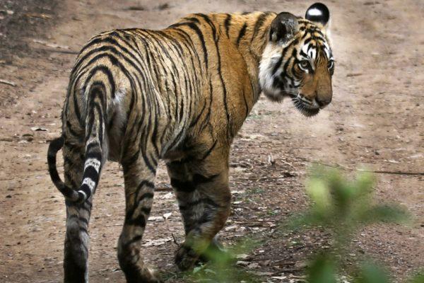 «Тигр на моей ферме»: угольный центр Индии несет новые опасности в деревнях